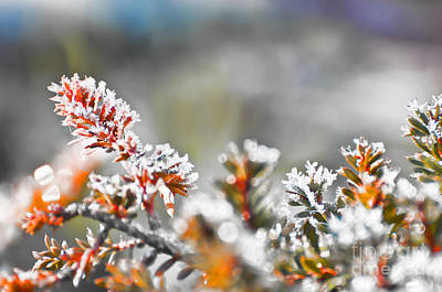 Photograph - Frosty Needles by Jim And Emily Bush