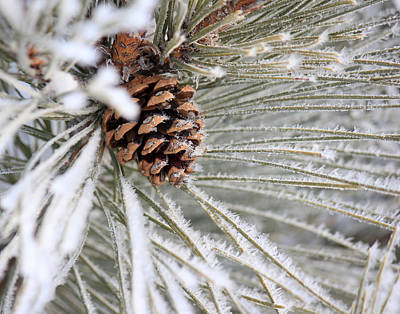 Frosty Norway Pine Art Print