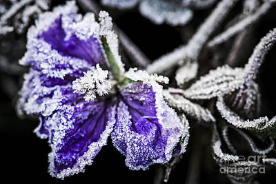Crystal Photograph - Frosty Purple Flower In Late Fall by Elena Elisseeva