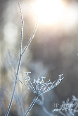 Photograph - Frosty Queen Anne's Lace by Cheryl Baxter