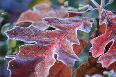 Photograph - Frosty Red Oaks by Maria Urso