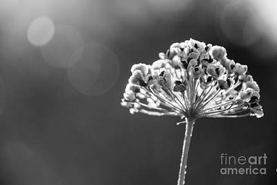 Photograph - Frosty Seedheads by Cheryl Baxter