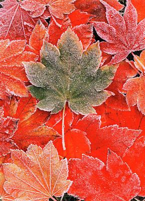 Frozen Autumn Leaves, Close-up (large Art Print by Stuart Westmorland