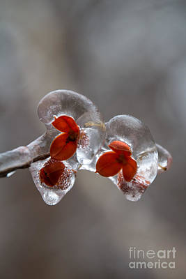 Photograph - Frozen Bittersweet Pods by Jim McCain