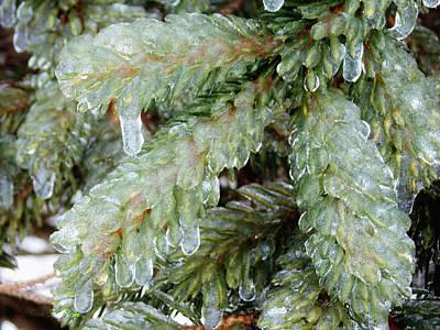 Photograph - Frozen Boughs by Shana Rowe Jackson