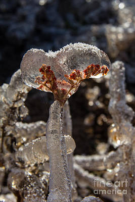 Photograph - Frozen Flower 1 by Jim McCain