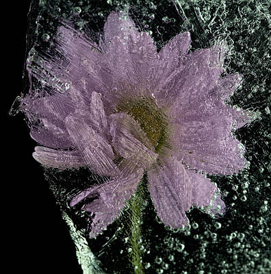 Photograph - Frozen Flower 3 by John Crothers