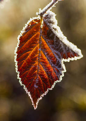 Photograph - Frozen Leaf by Ron Roberts
