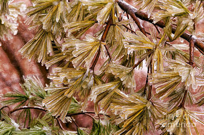 Photograph - Frozen Pine Needles by Les Palenik
