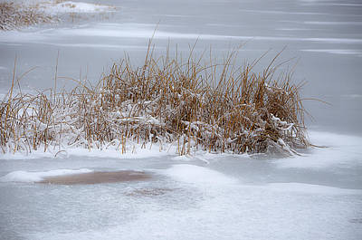Photograph - Frozen Reeds by Julie Palencia