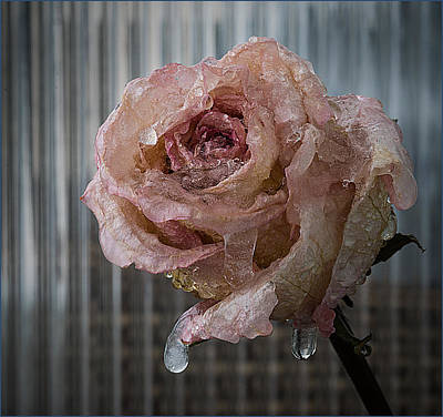 Photograph - Frozen Rose 2 by Vladimir Kholostykh