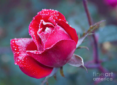 Photograph - Frozen Rose by Lena Auxier