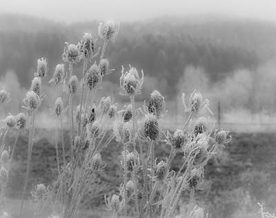 Photograph - Frozen Teasel by Jean Noren