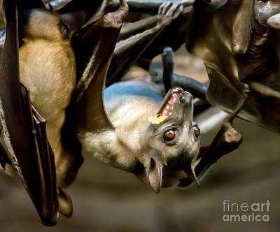 Fruit Bat Fedding Time Art Print