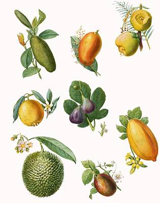 Fruit Art Print by English School