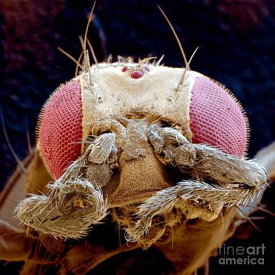 Photograph - Fruit Fly Drosophila Melanogaster by Eye of Science