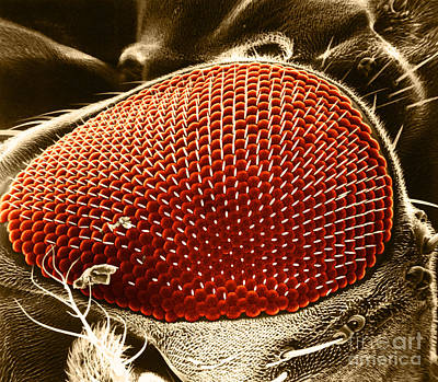 Fruit Fly Eye Sem Print by Omikron