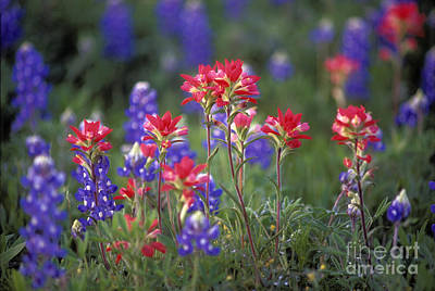 Photograph - Texas Wildflowers - Fs000926 by Daniel Dempster