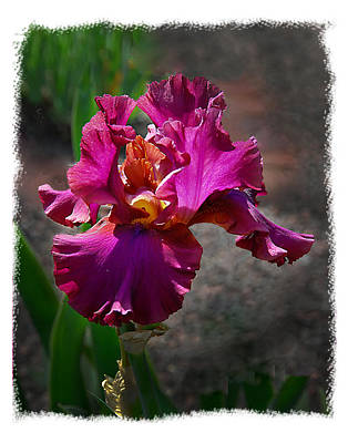 Fuchia Iris Art Print by Wynn Davis-Shanks