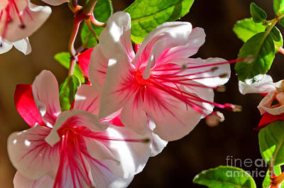 Photograph - Fuchsia by Adria Trail