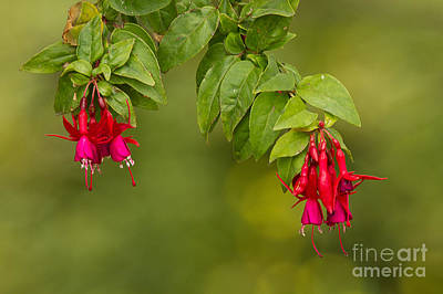 Photograph - Fuchsia by Alice Cahill