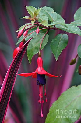 Photograph - Fuchsia Delight by Byron Varvarigos
