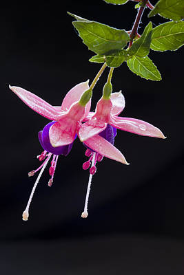 Photograph - Fuchsia Duo - 2 by Alex Saunders