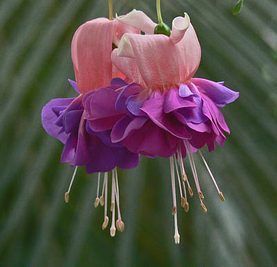 Photograph - Fuchsia Pair by Margaret Saheed