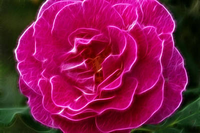 Photograph - Fuchsia Rose by Robyn Stacey