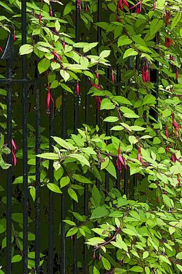 Heligan Photograph - Fuchsia Through A Gate. by Rob Huntley