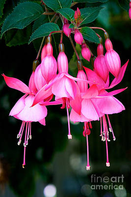 Art Print featuring the photograph Fuchsia  by Vinnie Oakes