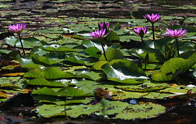 Fuchsia Water Lilies - Heat Of The Afternoon II Original by Suzanne Gaff