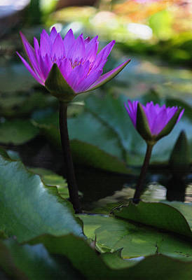 Purple Water Lilies V In Pastel Original