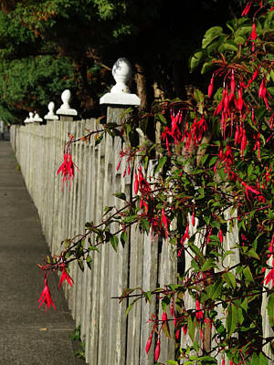Photograph - Fuchsias  And Fence Posts by Jacqueline  DiAnne Wasson