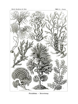 Art In Nature Drawing - Fucoideae by Ernst Haeckel