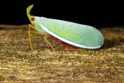 Fulgorid Bug Art Print by Dr Morley Read