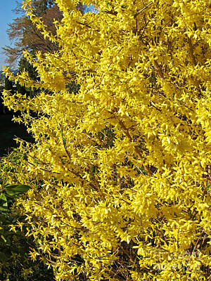 Photograph - Full Bloom Forsythia Yellow Shrub by Valerie Garner