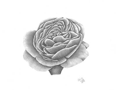 Drawing - Full Bloom by Patricia Hiltz