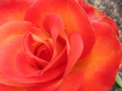 Full Bloom Art Print by Rose Clark