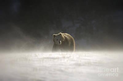 Blizzard Bear Print by Wildlife Fine Art