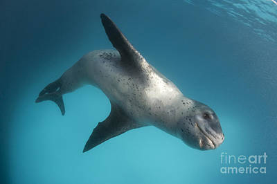 Photograph - Full Body View Of A Leopard Seal by Steve Jones
