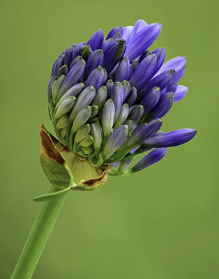Photograph - Full Floret Cluster - The Agapanthus Series by Karen Stephenson