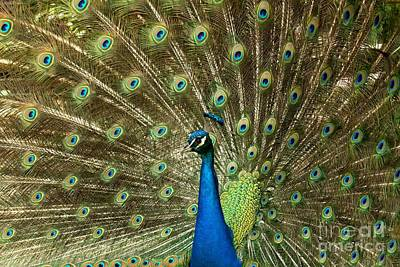 Photograph - Full Peacock Mane by Adam Jewell