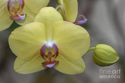 Photograph - Fuller's Sunset Orchid by Meg Rousher