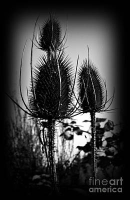 Photograph - Fuller's Teasel Bw 2 by Chalet Roome-Rigdon