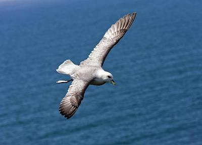 Burren Photograph - Fulmar In Flight by Bob Gibbons