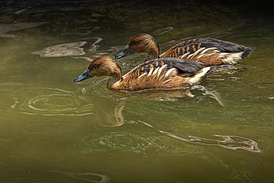 Fulvous Whistling Ducks Swimming Print by Randall Nyhof