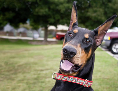 Fun Photo Of A Doberman Pinscher Art Print by Zandria Muench Beraldo