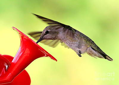 Photograph - Fun Summer Hummingbird by Carol Groenen