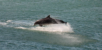 Dolphin Postcard Photograph - Fungie by Barbara Walsh